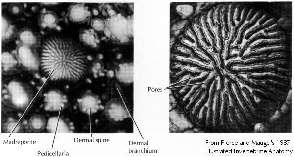 water vascular system in starfish